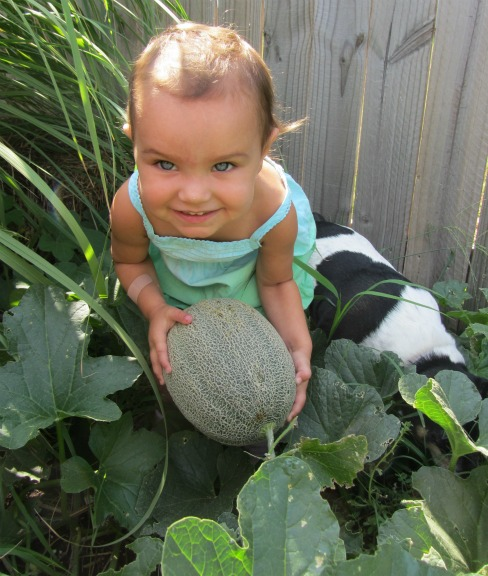 Growing And Fertilizing Backyard Cantaloupe Nutrients For Life Growing cantaloupe is one of my favorites about summer gardening. fertilizing backyard cantaloupe